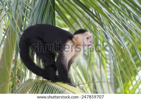 White-headed Capuchin Monkey (Cebus capucinus) in a Palm Tree - Roatan, Honduras - stock photo