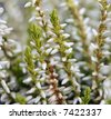 white heather - stock photo