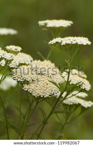 white herb achillea millefolium on white background - stock photo