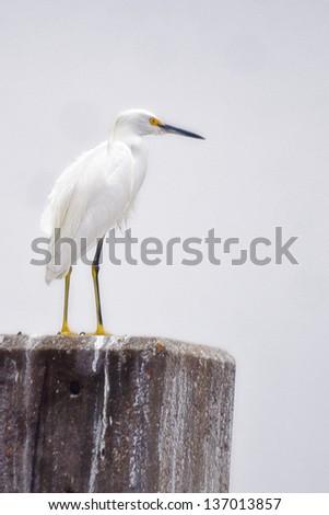White Heron - stock photo