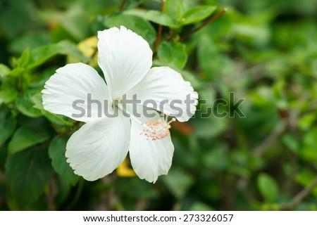 White Hibiscus flower in garden. - stock photo
