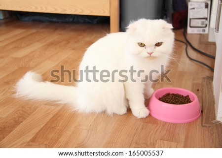 White highland fold cat and her food - stock photo