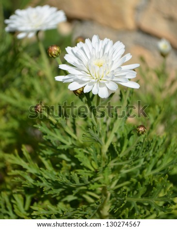 White Horace Read / Shasta Daisy Flower - stock photo