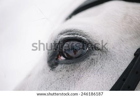 White Horse eye winter close up - stock photo