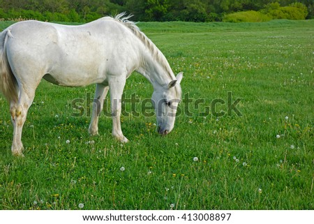 white horse grazes on a green field - stock photo