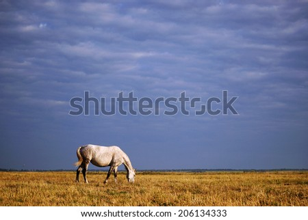 White horse grazing on the field against the blue stormy sky - stock photo