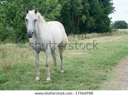 White horse in a field - stock photo