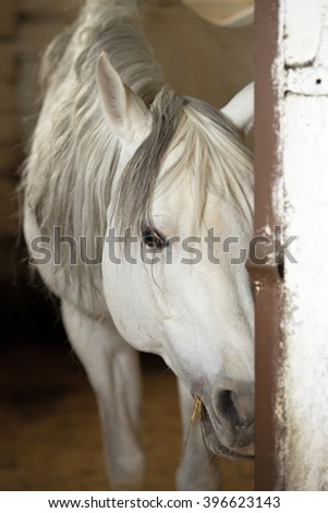 White horse in a stable stall. - stock photo