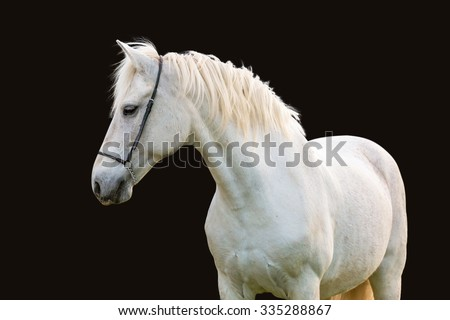 White horse isolated on black background. - stock photo