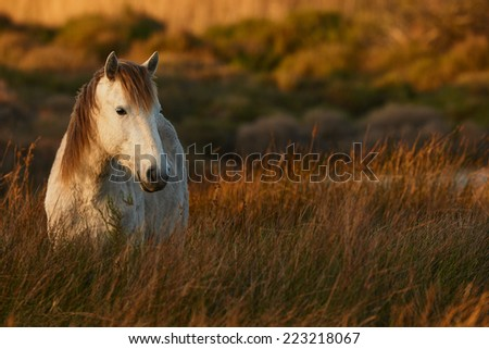 White horse of Camargue free in the swamp - stock photo