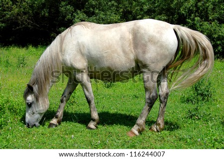 white horse on a green meadow - stock photo