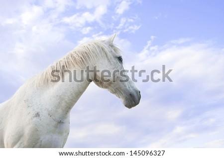White horse on blue sky - stock photo