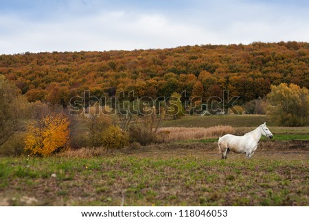 White horse pasturing in a field near a forest - stock photo