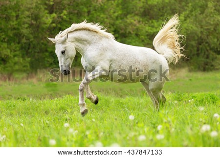White horse playing free in a summer meadow. - stock photo