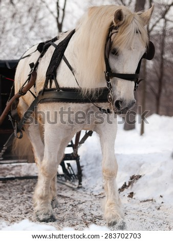 White horse pulling sleigh in winter - stock photo