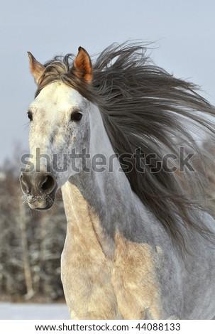 white horse run gallop in winter - stock photo