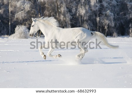 white horse runs gallop in winter - stock photo
