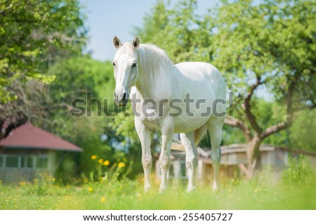 White horse standing in the paddock in summer - stock photo