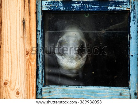 White horse trapped behind wooden blue frame - stock photo