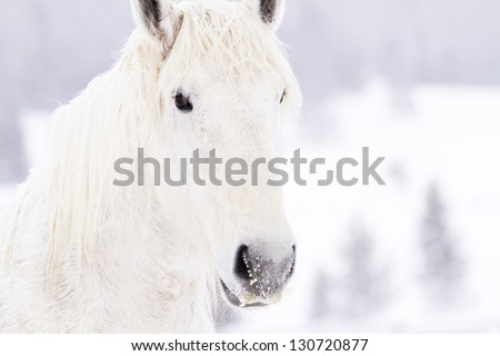 White horses in snow on the farm in Colorado. - stock photo