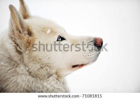 White huskey close up winter photo - stock photo