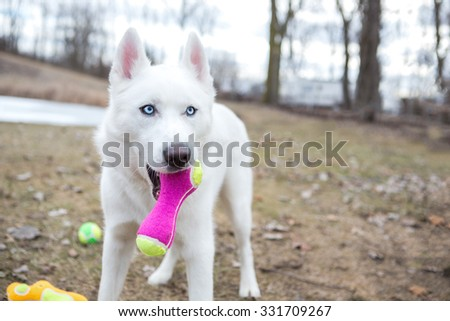 White husky playing in the snow - stock photo