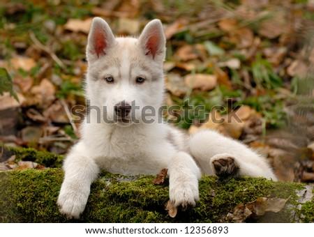 White husky puppy - stock photo