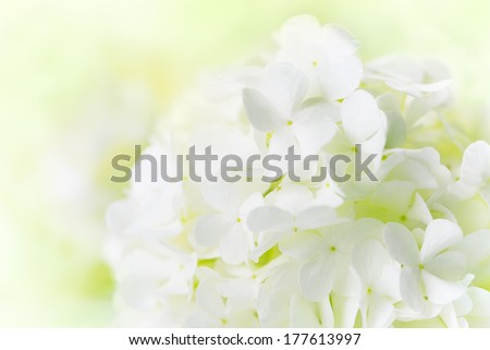 White Hydrangea - stock photo
