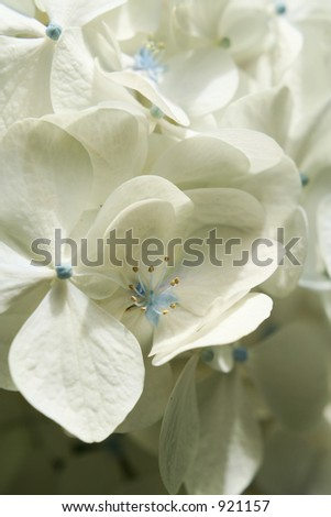 White hydrangeas - stock photo