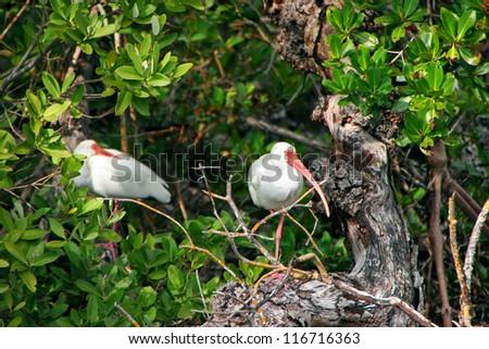 White Ibis Birds In Tree Wildlife Refuge Sanibel Florida - stock photo