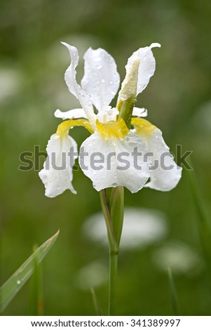 white iris flower closeup with water drops on the petals - stock photo