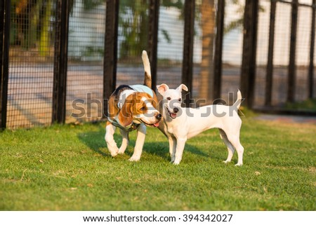 White Jack russel playing with beagle dog - stock photo