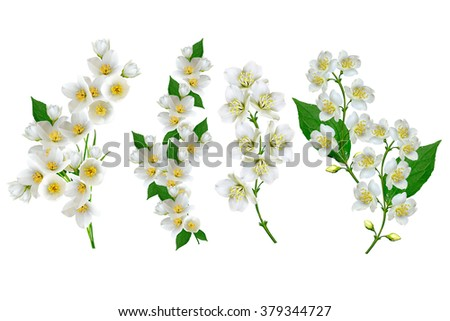 White jasmine flower. The branch delicate spring flowers. branch of jasmine flowers isolated on white background. spring flowers - stock photo