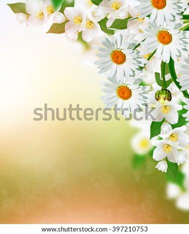 White jasmine flower. The branch delicate spring flowers.daisy  - stock photo