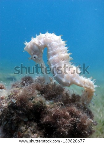 White Jayakar�´s seahorse on the top of hard coral in shallow sea lagoon with the sea grass - stock photo