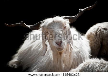 White kashmir (pashmina) goat from Indian highland farm in Ladakh - stock photo