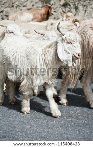 White kashmir (pashmina) goat from Indian highland farm in Ladakh going with herd - stock photo
