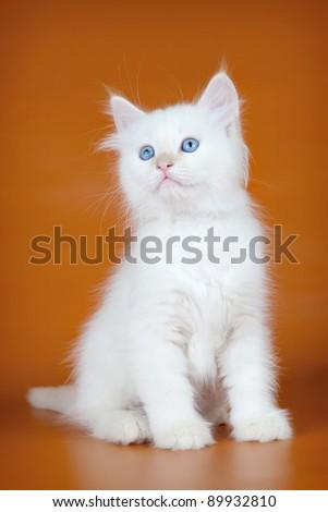 White kitten on orange background - stock photo