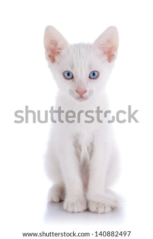 White kitten with blue eyes. Kitten on a white background. Small predator. Small cat. - stock photo