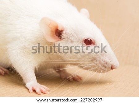 white laboratory rat - stock photo