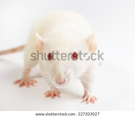 white laboratory rat isolated on white background - stock photo