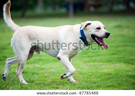 White labrador dog running on the lawn - stock photo