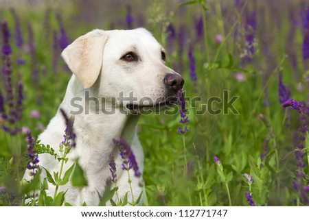 White Labrador Female Portrait - stock photo