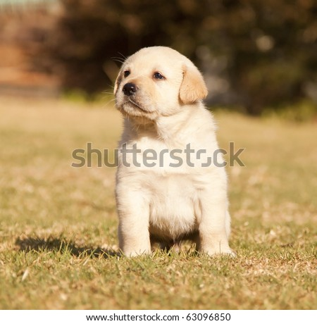 White Labrador puppy sits on grass in the sunshine - stock photo