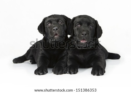 white labrador retriever puppy dog looking away from the camera on white background - stock photo