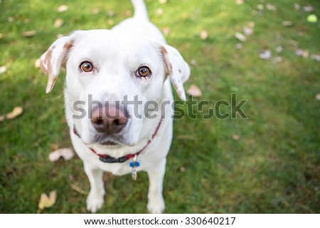 White labrador standing outside - stock photo