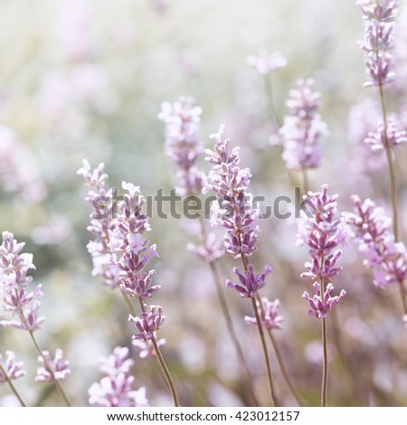 White Lavender - stock photo