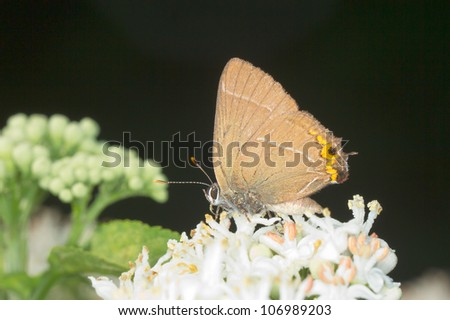 White-letter Hairstreak Butterfly - Satyrium w-album - stock photo