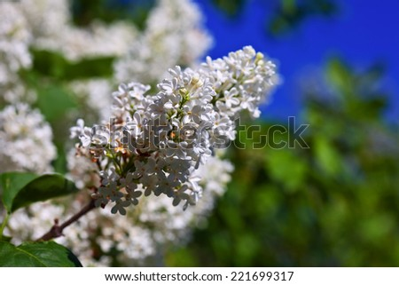 White lilac branch in spring   - stock photo