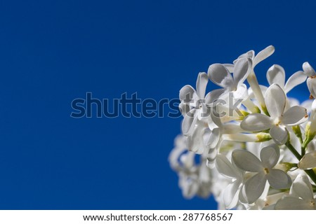 White Lilac Flower Isolated Against a Blue Sky - stock photo